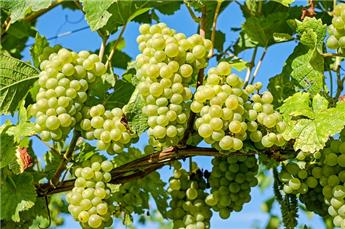 Vitis vinifera Lakemont Pot C3  Vigne greffée, sans pépins ** Très résistante aux maladies et au froid  **