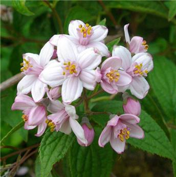 Deutzia hybride Mont Rose Pot C7.5