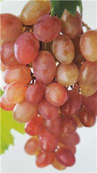 Vitis vinifera Katharina Pot C3 ** Résistante aux maladies **