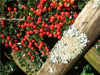 Cotoneaster micr Queen of Carpet Pot P9