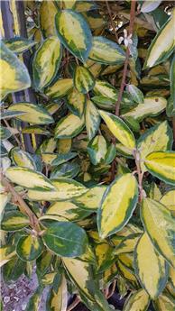 Elaeagnus ebbingei Limelight Pot C12