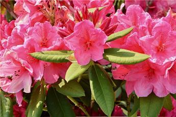 Rhododendron Junifeuer 50 60 XXL  Pot