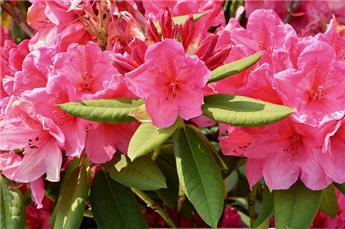 Rhododendron x Junifeuer 60 70 pot C10