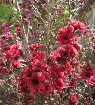 LEPTOSPERMUM scoparium Ruby glow C.4L RC