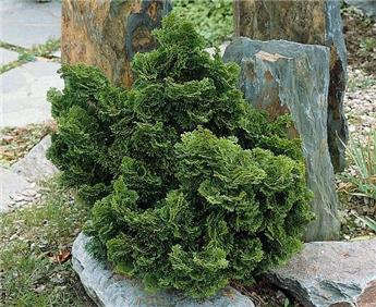 Chamaecyparis Obtusa Nana Gracilis Pot C3
