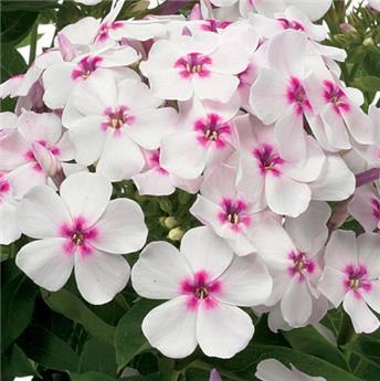 Phlox Paniculata Flame White Eye C.4L