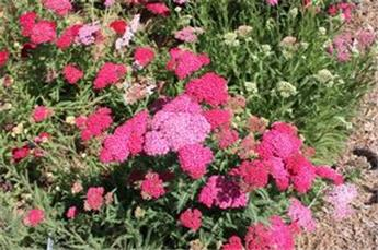 Achillea millefolium Saucy seduction Pot XXL C4