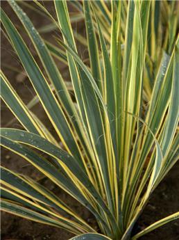 Yucca filamentosa Bright Edge 40 60 Pot C7
