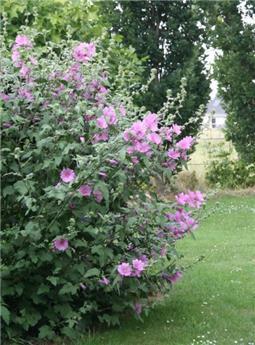Lavatera arborea Rosea C.4L