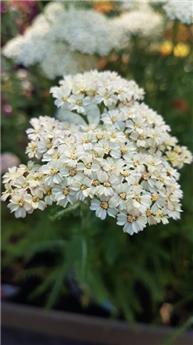 Achillea millefolium Desert eve cream P17