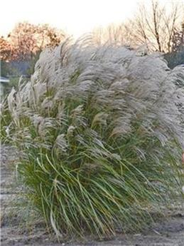 Miscanthus sin Autumn Anthem P29