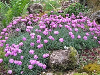 Dianthus grat. Pink Jewel Pot P11