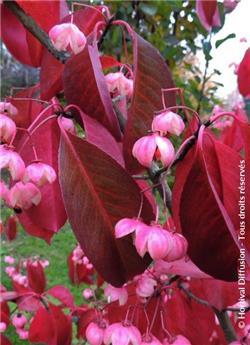 Euonymus grandiflorus Ruby Wine Pot C5 ** Magnifique feuillage en automne **