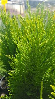 Chamaecyparis Broomhill P11