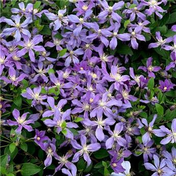Clematis Integrifolia Arabella P16 - C2