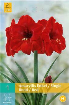 Amaryllis rouge * 1 pc cal.28/30