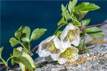 Clematis Cirrhosa FRECKLE P16 ** Clématite de Noël **